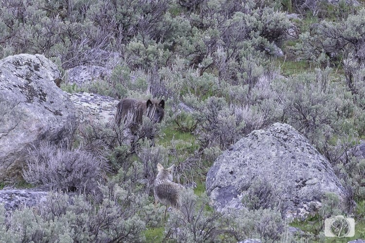 yellowstone national park coyote chasing wolf
