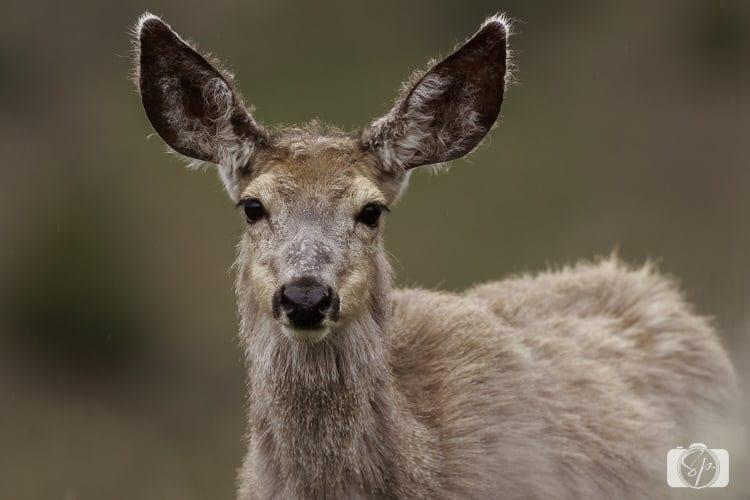 yellowstone national park deer