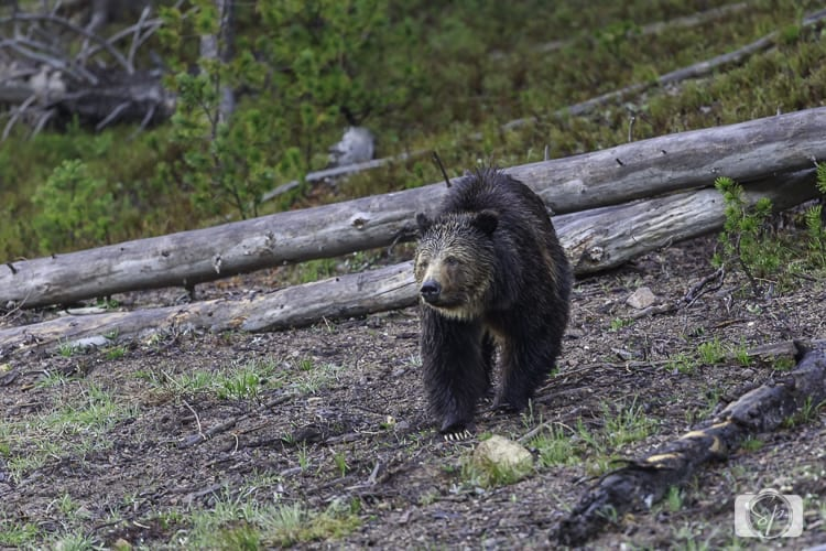 yellowstone national park grizzly 2