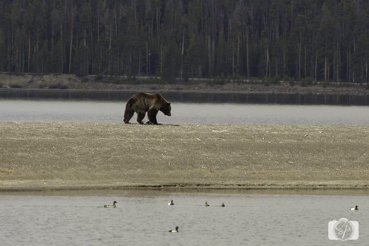 yellowstone national park yellowstone lake grizzly