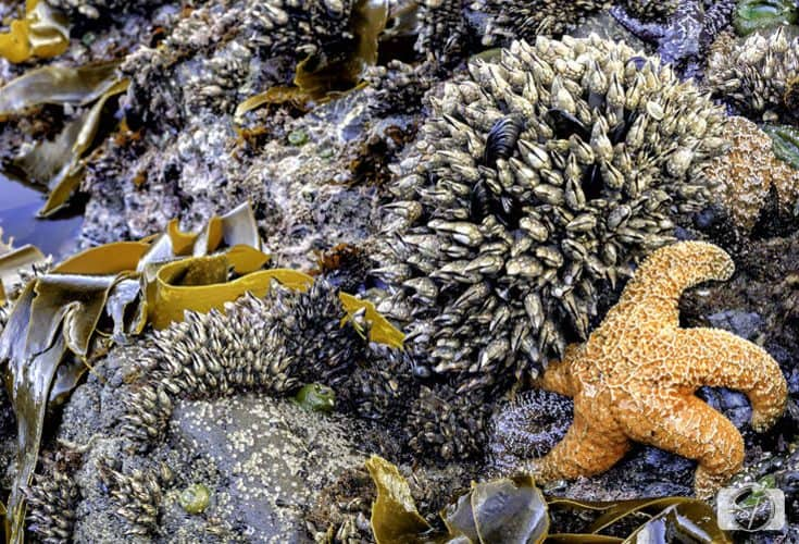 oregon-coast-sea-starfish