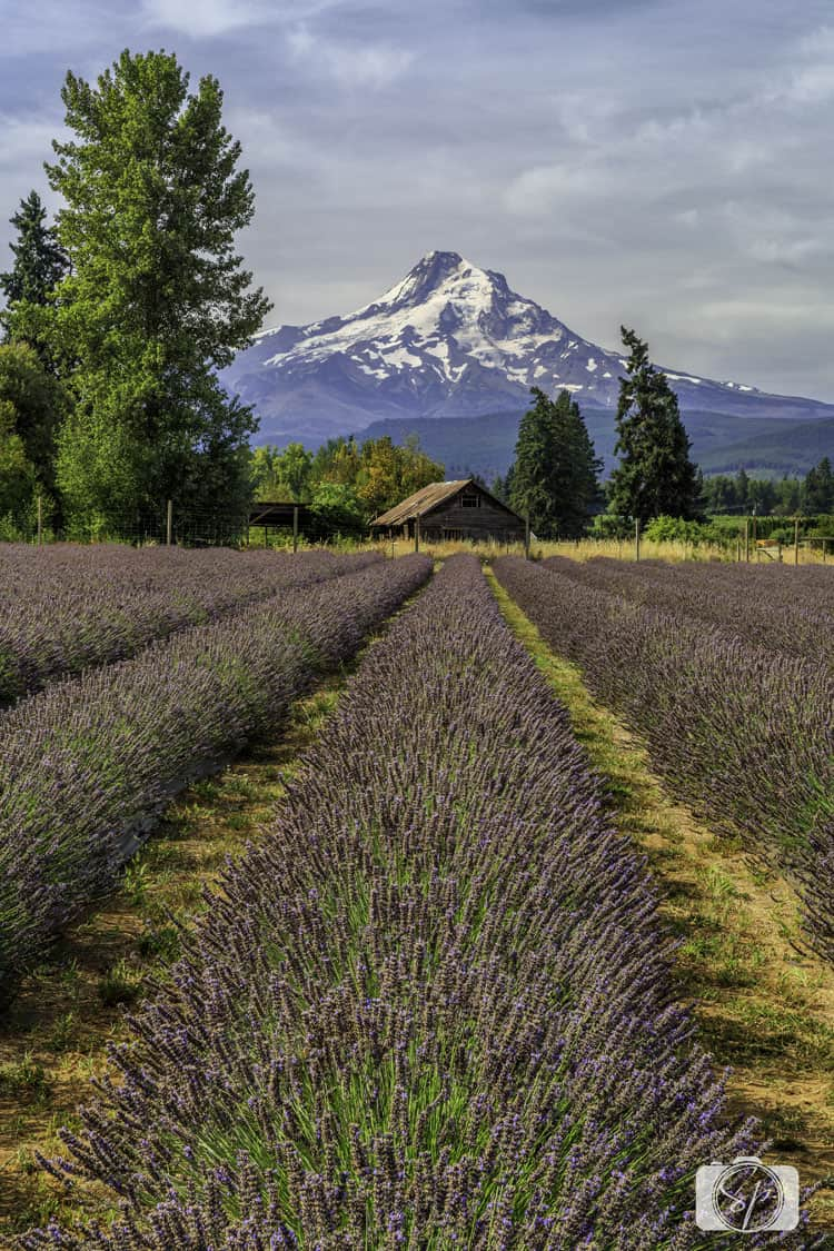 lavander valley with view of Mt. Hood