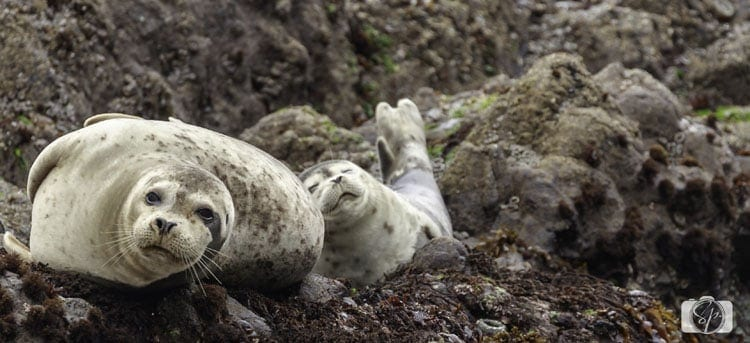 oregon-coast-strawberry-hill-harbor-seal