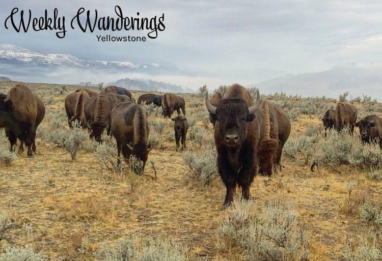 weekly-wanderings-yellowstone
