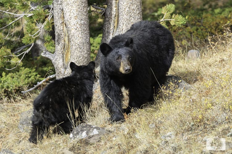 yellowstone mama black bear and cub