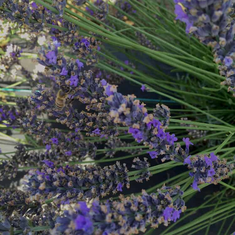 lavender valley bee
