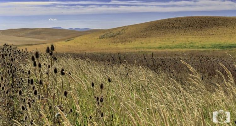 palouse golden fields