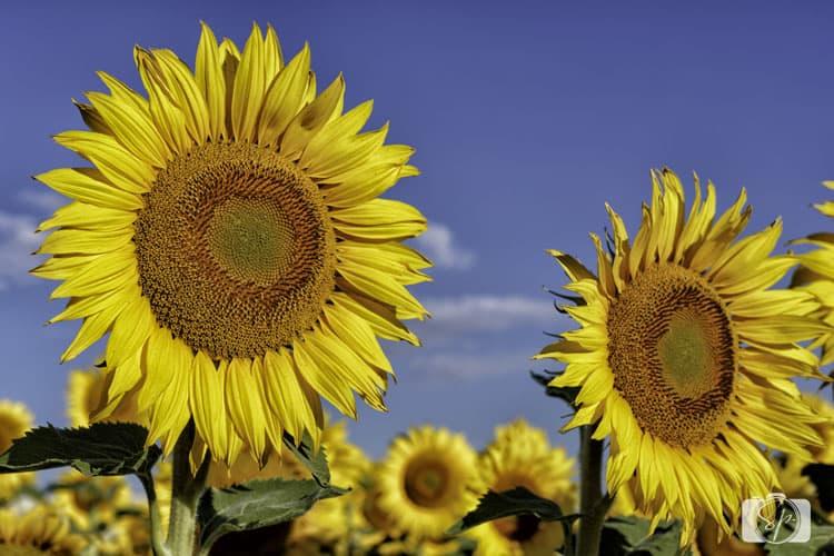 palouse sunflowers