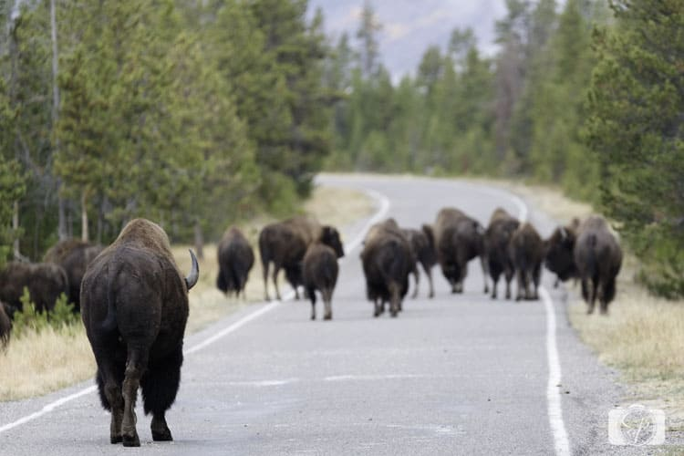 bison-commute-hour-yellowstone national park