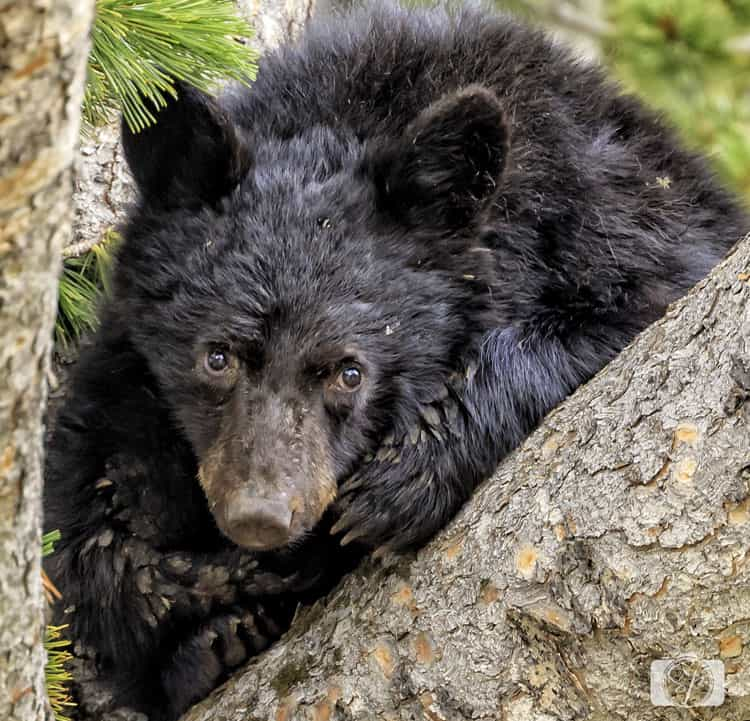 yellowstone-national park black-bear-cub