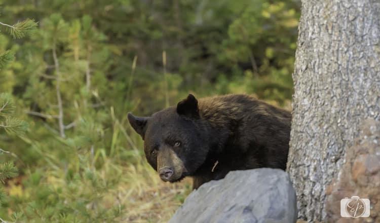 yellowstone-national park black-bear-hiding