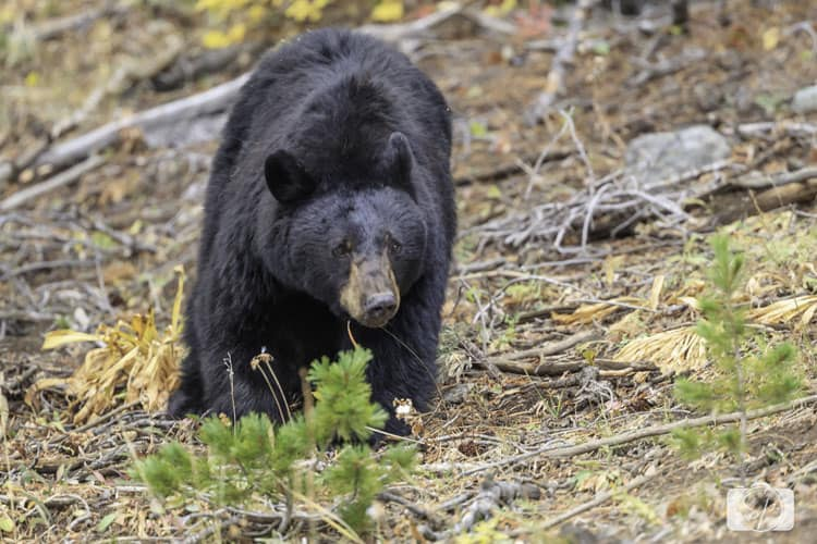 yellowstone-national park black-bear