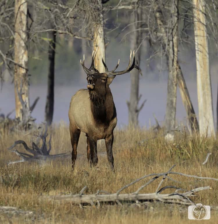 yellowstone-national park bull-elk