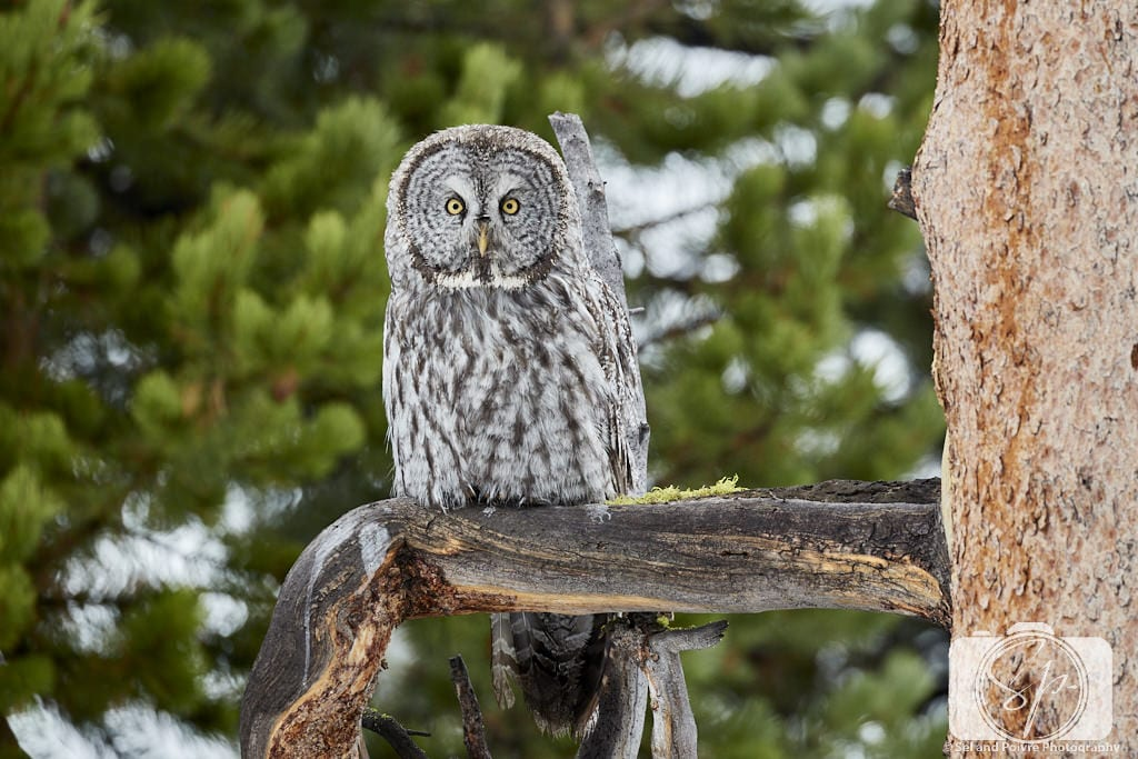Yellowstone National Park Great Grey Owl