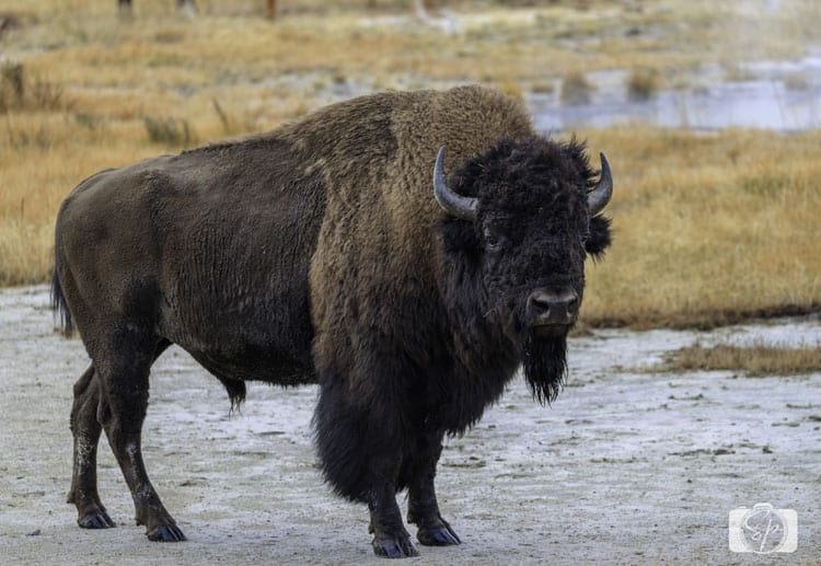 bison-firehole-lake-yellowstone national park