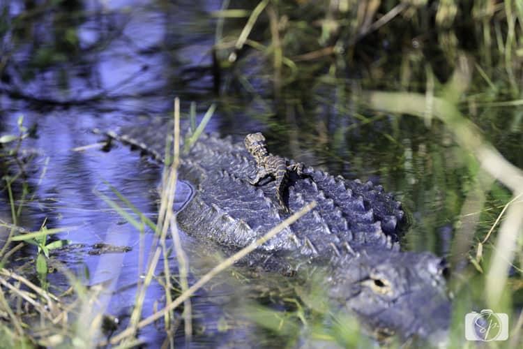 florida mama-and-baby-alligator