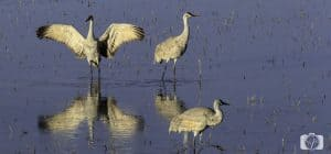 new-mexico-sandhill cranes