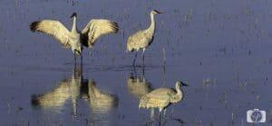 new-mexico-sandhill cranes