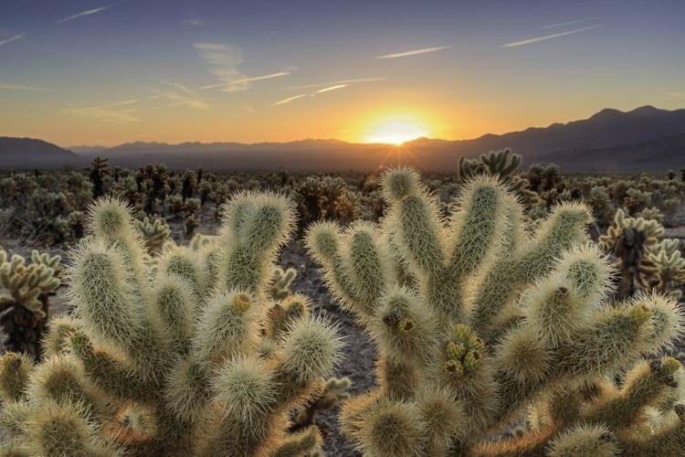 joshua tree national park cholla cactus garden