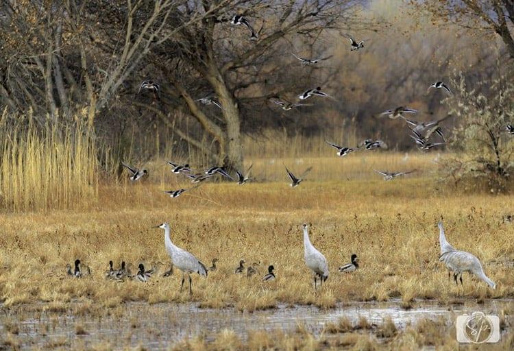 new mexico bosque del apache cranes dukes