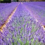 5 of America's Most Unique Lavender Farms