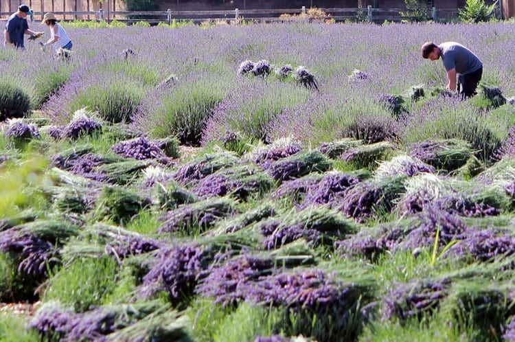 5 of America's Most Unique Lavender Farms - Los Poblanos Lavender Farm