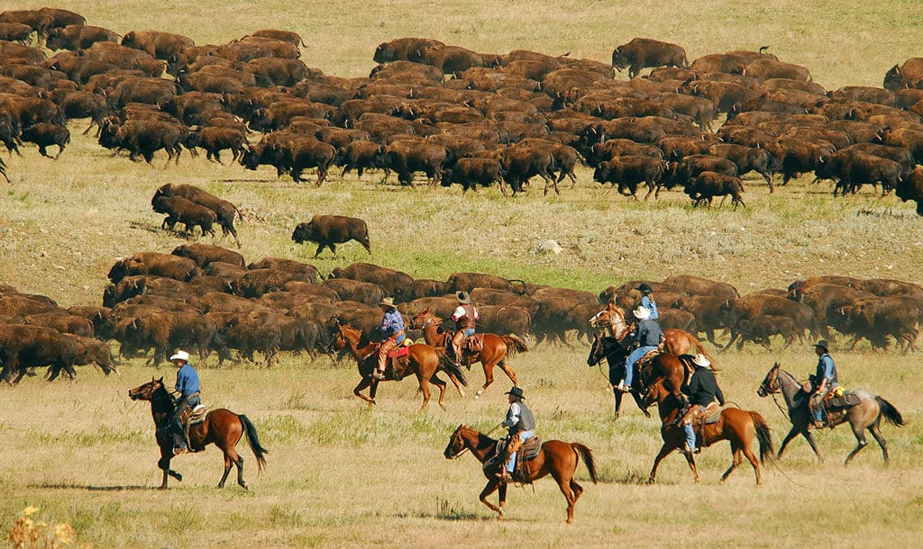 Annual buffalo round-up at Custer State Park