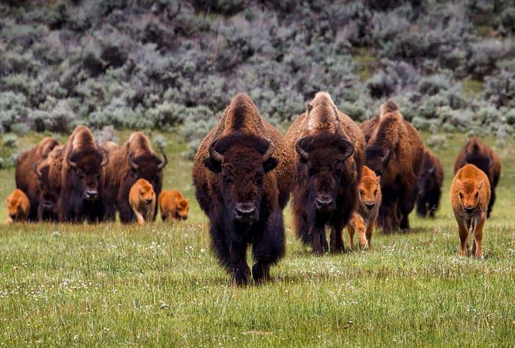Custer State Park Buffalo Family