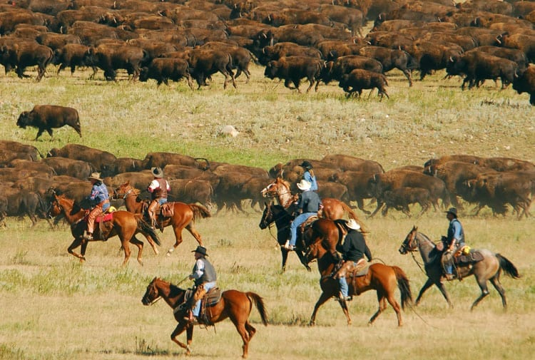 Custer State Park Buffalo Round-up