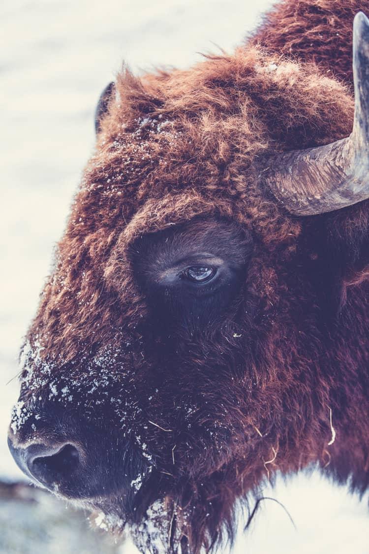 Custer State Park Buffalo Snow