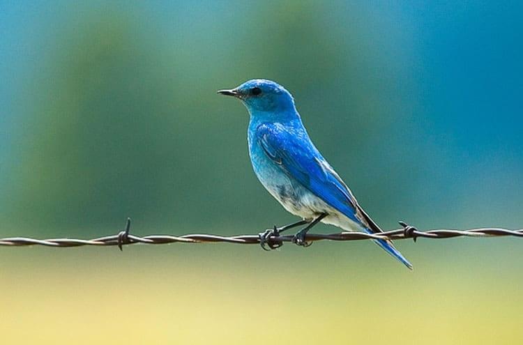 Custer State Park Mountain Bluebird