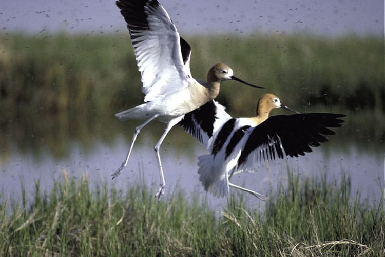 Birding in Box Elder County - Bear River Migratory Bird Refuge - Avocets