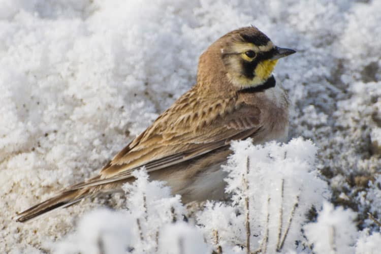 Birding in Box Elder County - Bear River Migratory Bird Refuge - Horned Lark