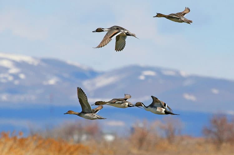 Birding in Box Elder County - Bear River Migratory Bird Refuge - Northern Pintails