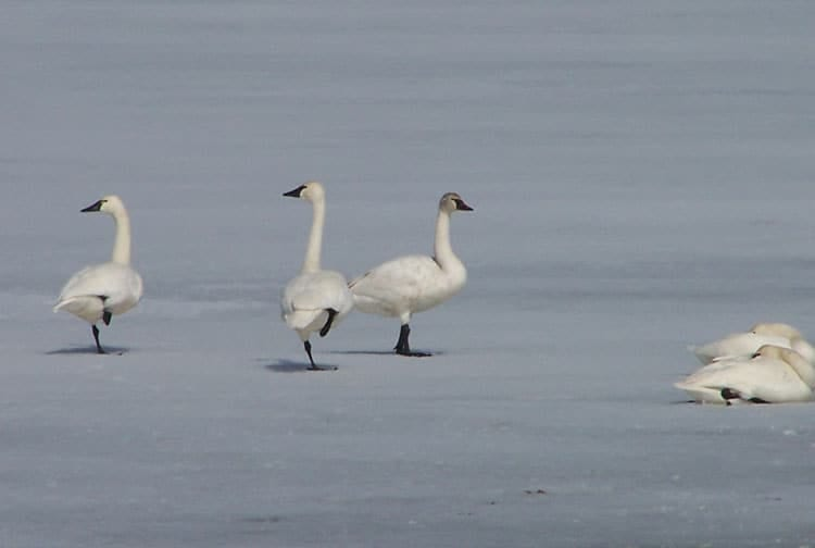 Birding in Box Elder County - Bear River Migratory Bird Refuge - Trumpeter Swans