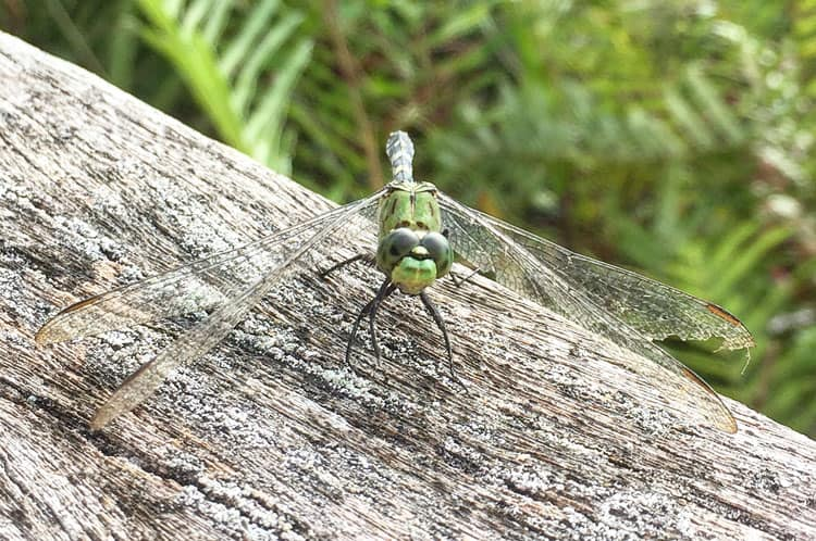 Corkscrew Swamp Sanctuary Dragonfly