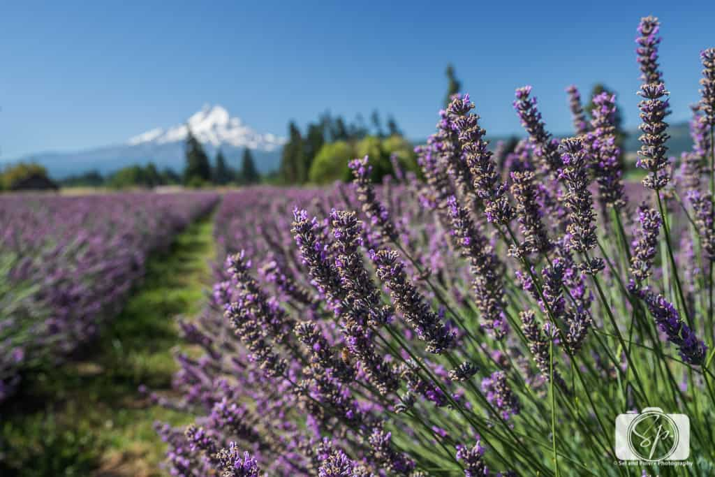 Lavender Fields in the USA - 5 of America's Most Unique Lavender Fields