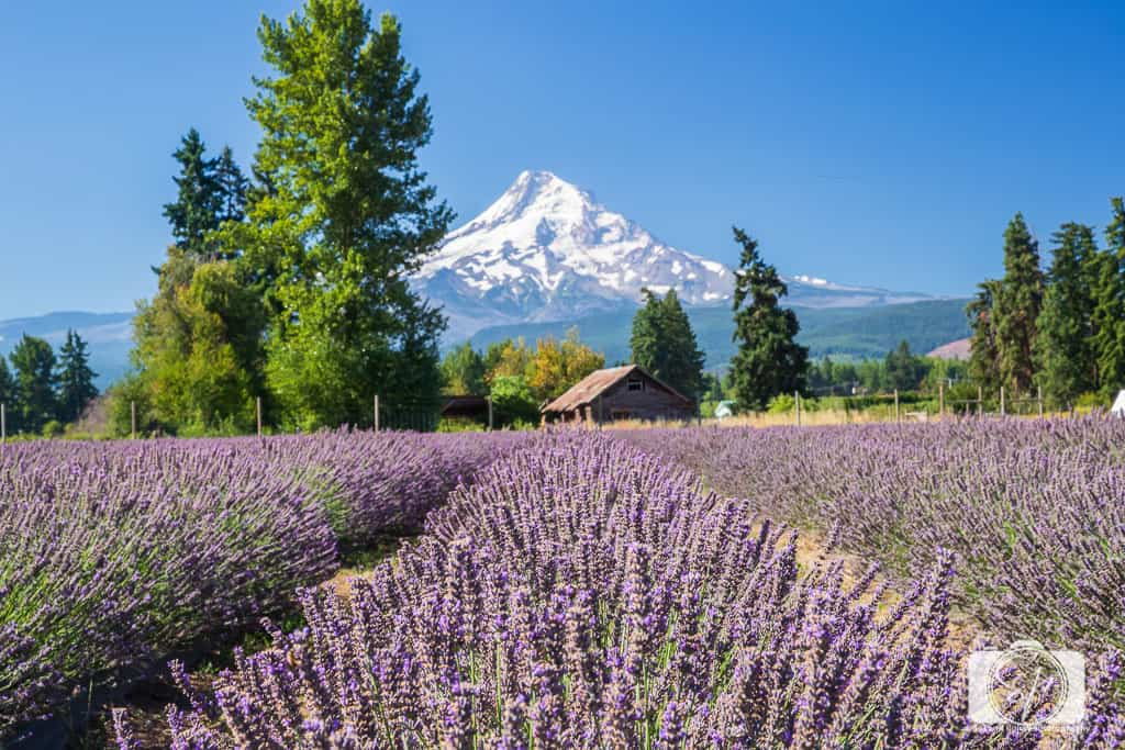Lavender Fields in the USA - 5 of America's Most Unique Lavender Fields Lavender Valley Farm Mt Hood Oregon