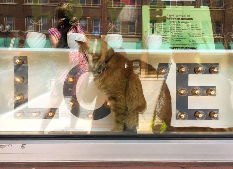 Indianapolis Mass Ave Cat in Store Window