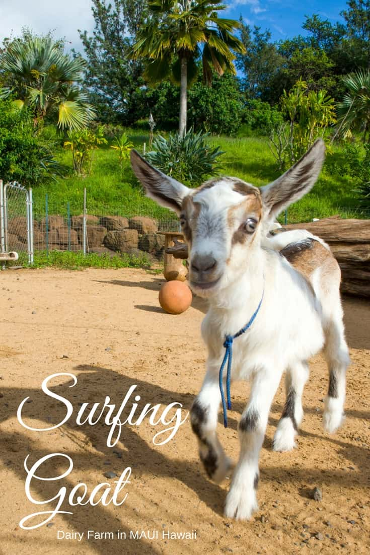 Maui - Surfing Goat Farm