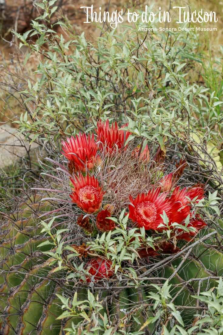 Things to do in Tucson - Arizona-Sonora Desert Museum Flower