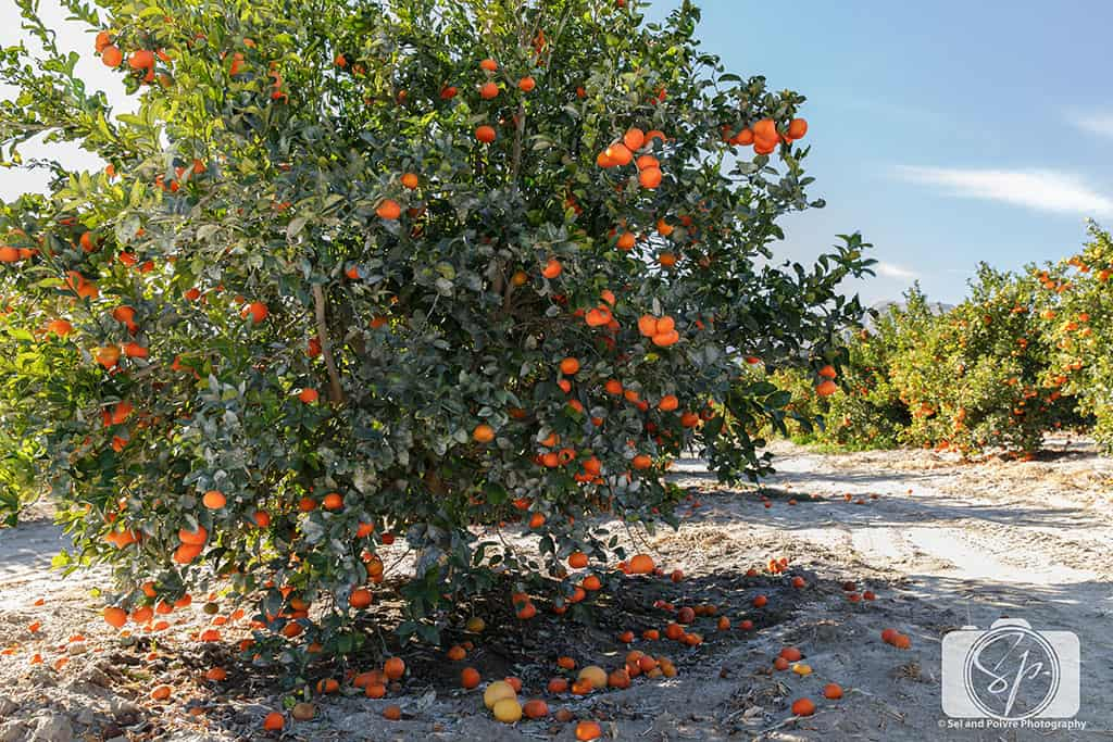 seley ranch-tangerine tree