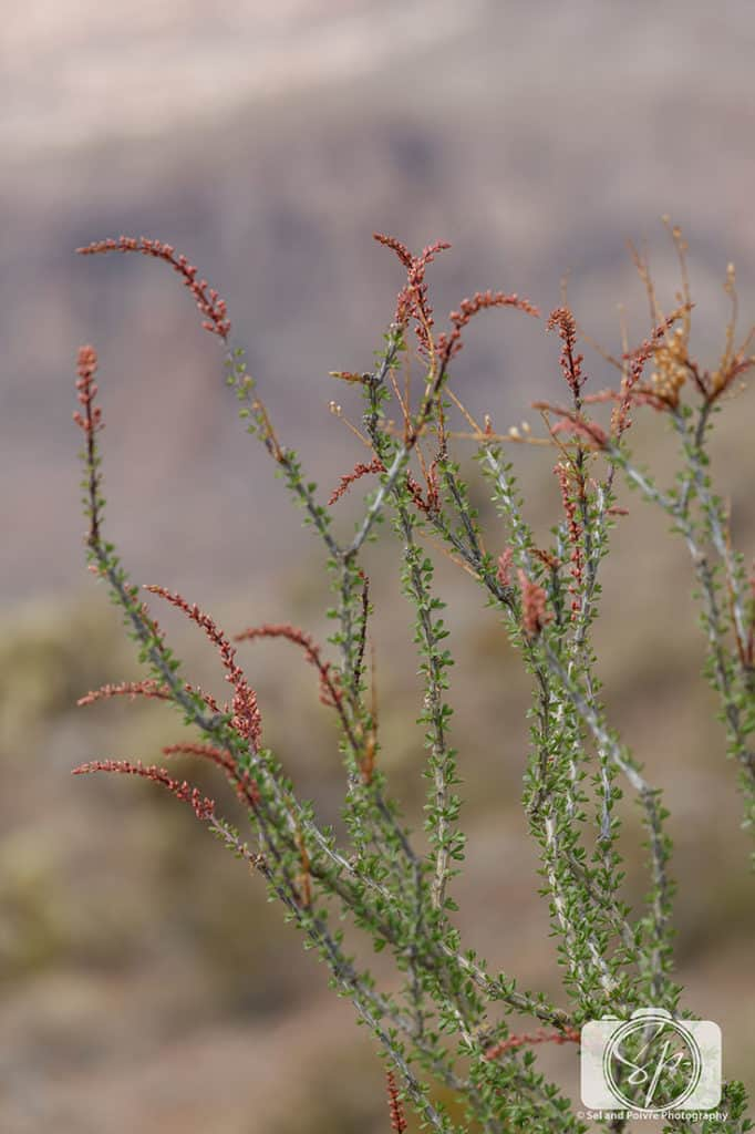 Blooming Ocotillo on Route 66 near Oatman Arizona