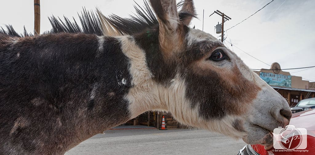 Oatman Burro Licking a Car on Route 66 Arizona