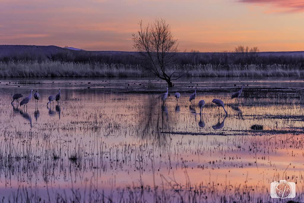 bosque del apache cranes at sunset
