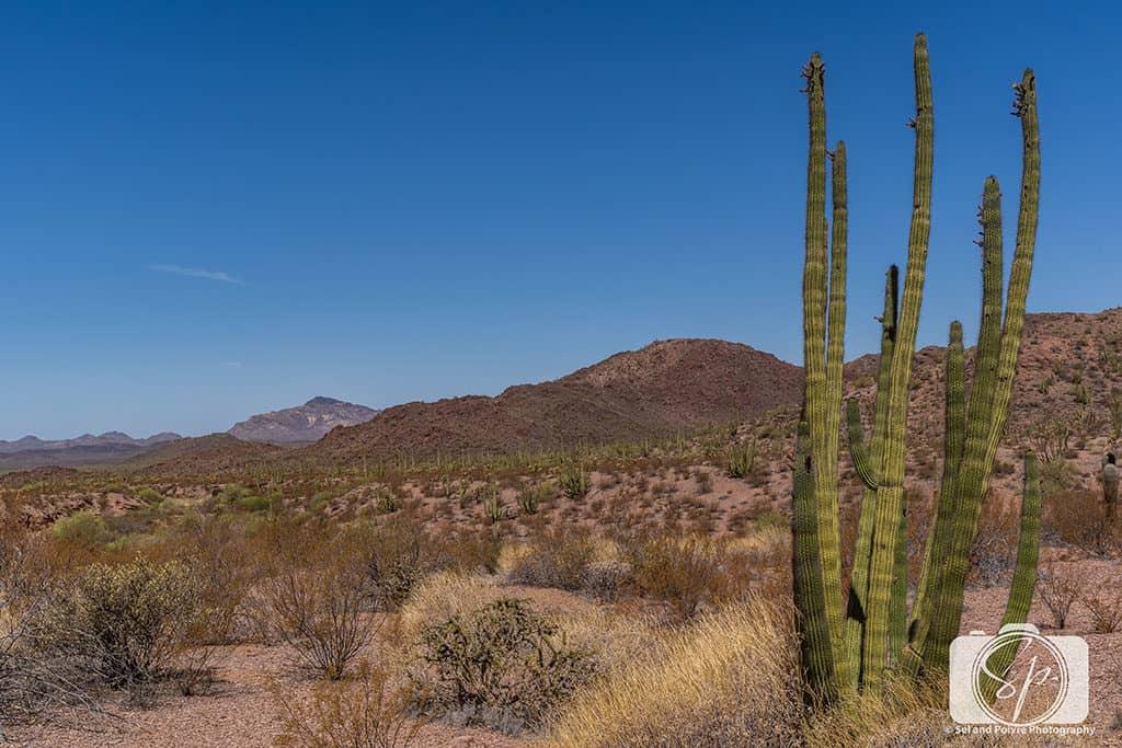 Pipe Organ Cactus in Pipe Organ National Monument Arizona