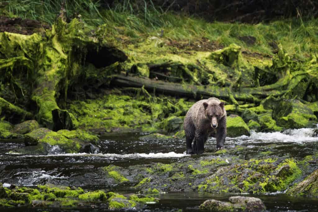 grizzly-bear-walking-across-mossy-riverbank-juneau-alaska-hp