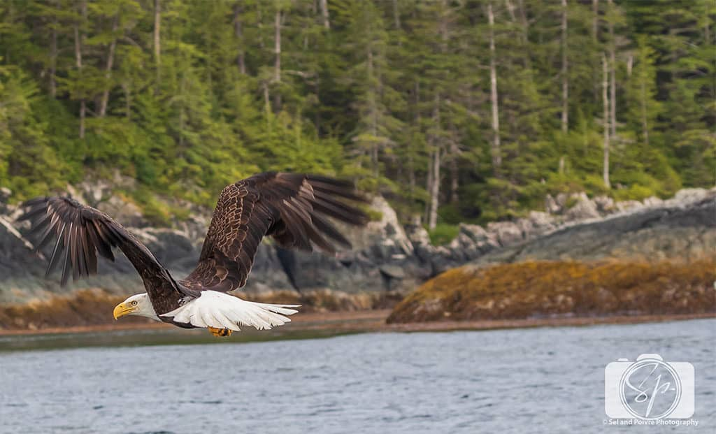 Alaska-American Bald Eagle