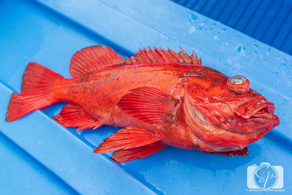 Alaska-Rockfish