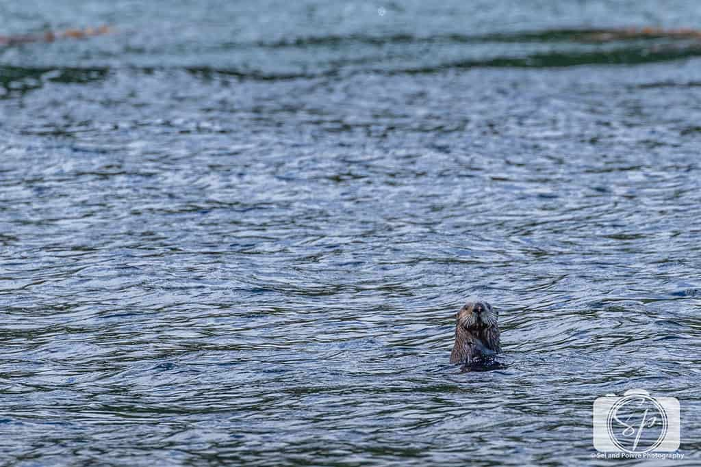 Alaska-SteamBoat-Lodge-Curious Otter